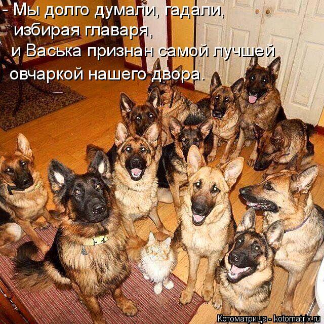 Котоматрица: - Мы долго думали, гадали,  избирая главаря, и Васька признан самой лучшей  овчаркой нашего двора.