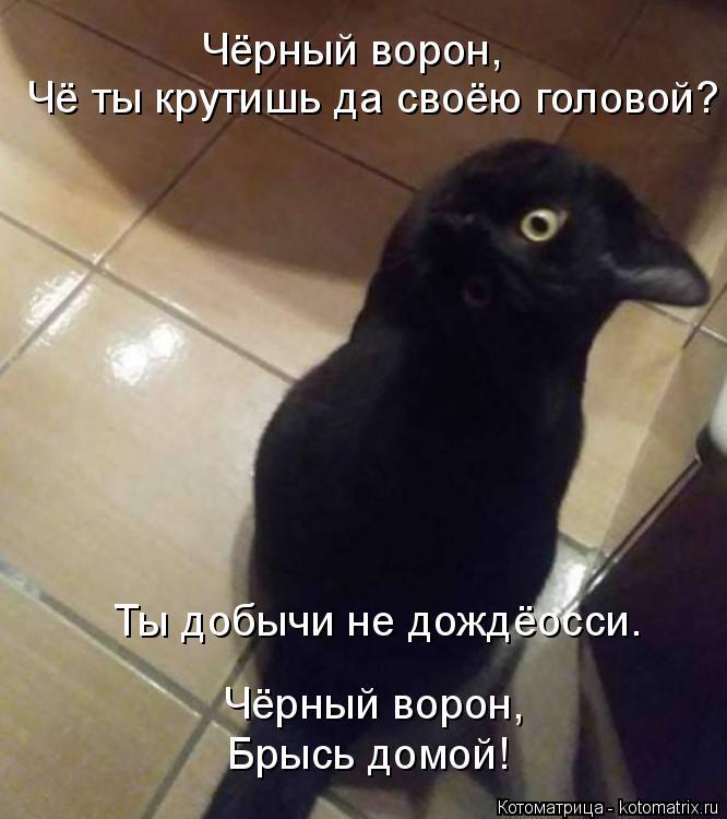 Котоматрица: Чёрный ворон, Чё ты крутишь да своёю головой? Чёрный ворон, Брысь домой! Ты добычи не дождёосси.