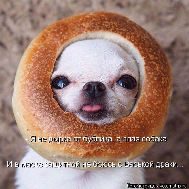 Котоматрица: - Я не дырка от бублика, а злая собака И в маске защитной не боюсь с Васькой драки...