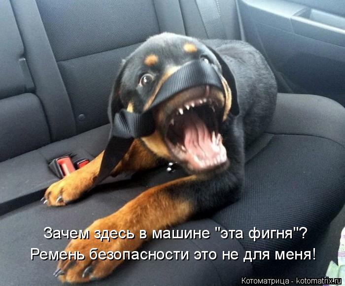 """Котоматрица: Ремень безопасности это не для меня! Зачем здесь в машине """"эта фигня""""?"""