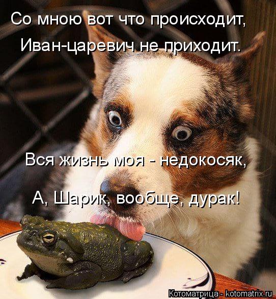 Котоматрица: Со мною вот что происходит, Иван-царевич не приходит. Вся жизнь моя - недокосяк, А, Шарик, вообще, дурак!