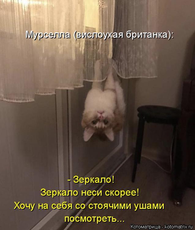 Котоматрица: Хочу на себя со стоячими ушами  посмотреть... Зеркало неси скорее! - Зеркало!  Мурселла (вислоухая британка):