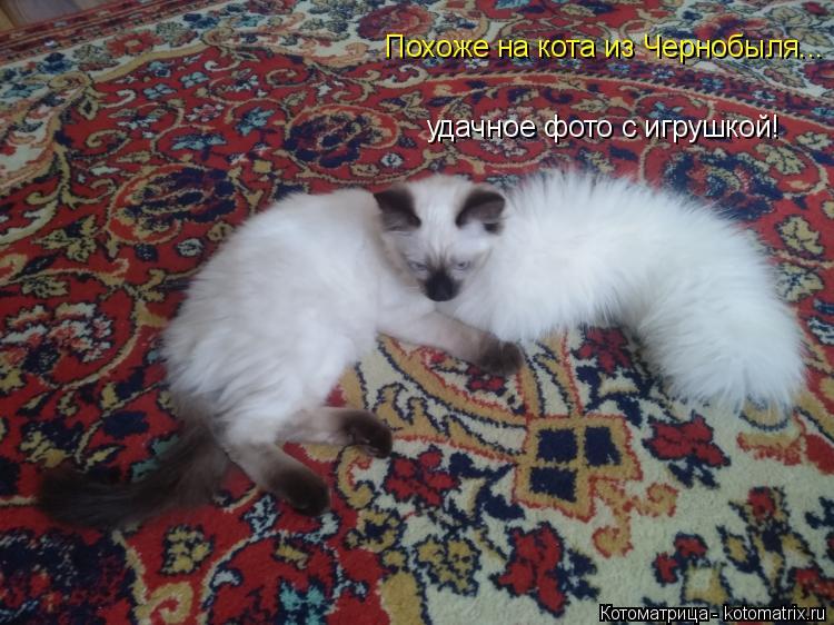 Котоматрица: Похоже на кота из Чернобыля... удачное фото с игрушкой!