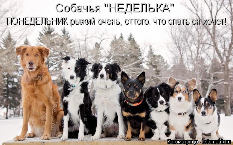 """Котоматрица: Собачья """"НЕДЕЛЬКА"""" ПОНЕДЕЛЬНИК рыжий очень, оттого, что спать он хочет!"""