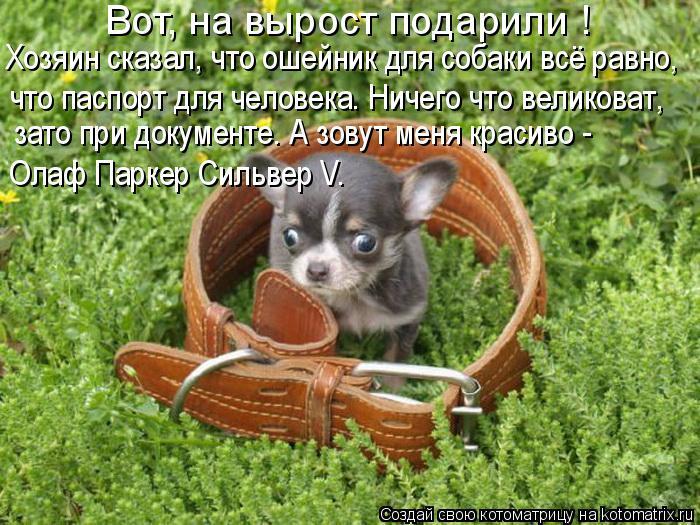 Котоматрица: Вот, на вырост подарили ! Хозяин сказал, что ошейник для собаки всё равно, что паспорт для человека. Ничего что великоват, зато при документе.