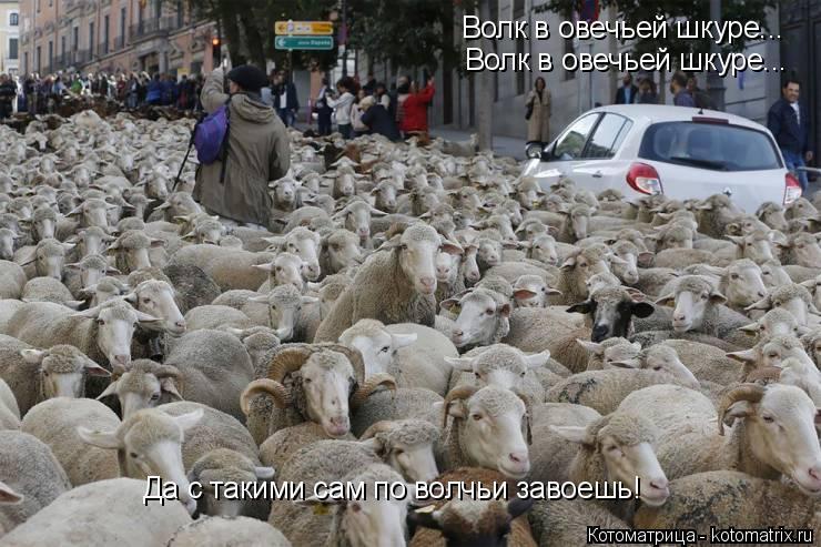 Котоматрица: Волк в овечьей шкуре... Волк в овечьей шкуре... Да с такими сам по волчьи завоешь!