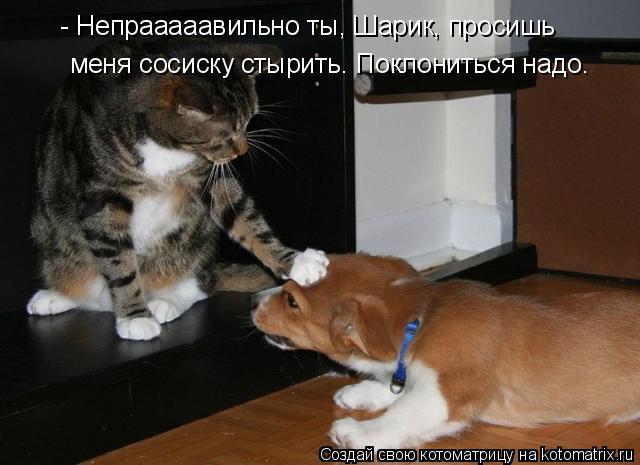 Котоматрица: - Непрааааавильно ты, Шарик, просишь меня сосиску стырить. Поклониться надо.