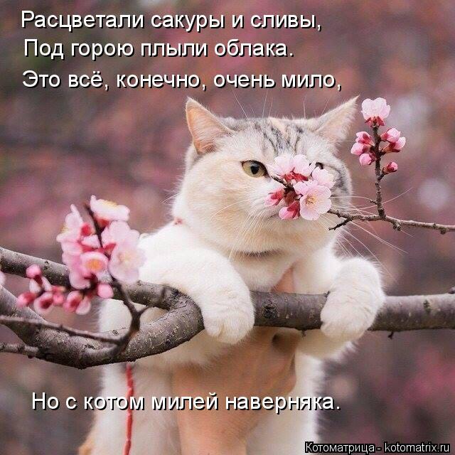 Котоматрица: Расцветали сакуры и сливы, Под горою плыли облака. Это всё, конечно, очень мило, Но с котом милей наверняка.