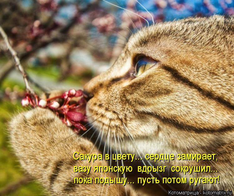 Котоматрица: Сакура в цвету... сердце замирает, вазу японскую  вдрызг  сокрушил... пока подышу... пусть потом ругают!