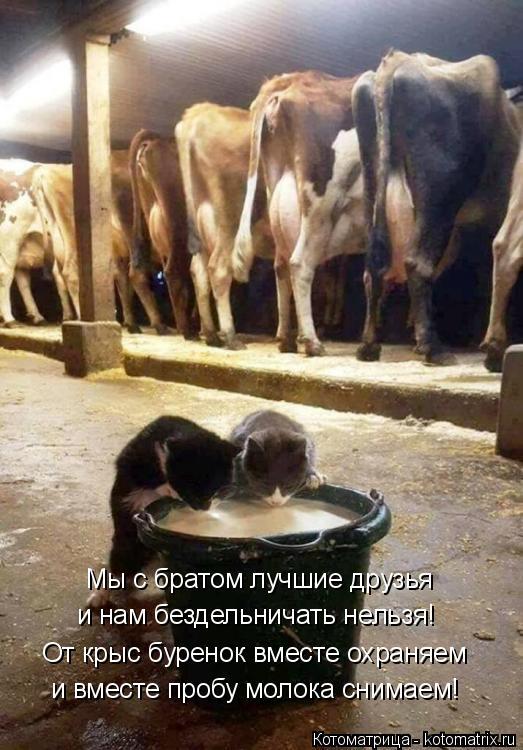Котоматрица: Мы с братом лучшие друзья и нам бездельничать нельзя! От крыс буренок вместе охраняем и вместе пробу молока снимаем!