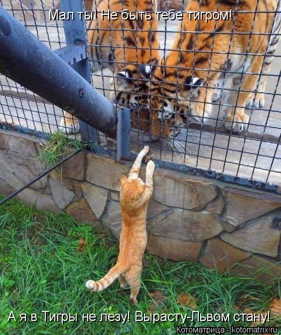 Котоматрица: Мал ты! Не быть тебе тигром! А я в Тигры не лезу! Вырасту-Львом стану!
