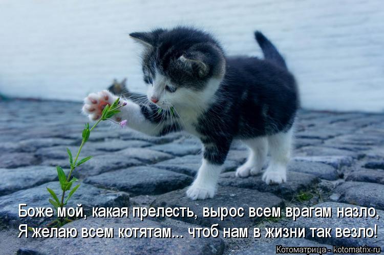 Котоматрица: Боже мой, какая прелесть, вырос всем врагам назло, Я желаю всем котятам... чтоб нам в жизни так везло!