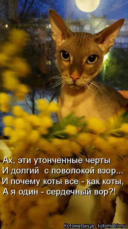Котоматрица: Ах, эти утонченные черты И долгий  с поволокой взор... И почему коты все - как коты, А я один - сердечный вор?!