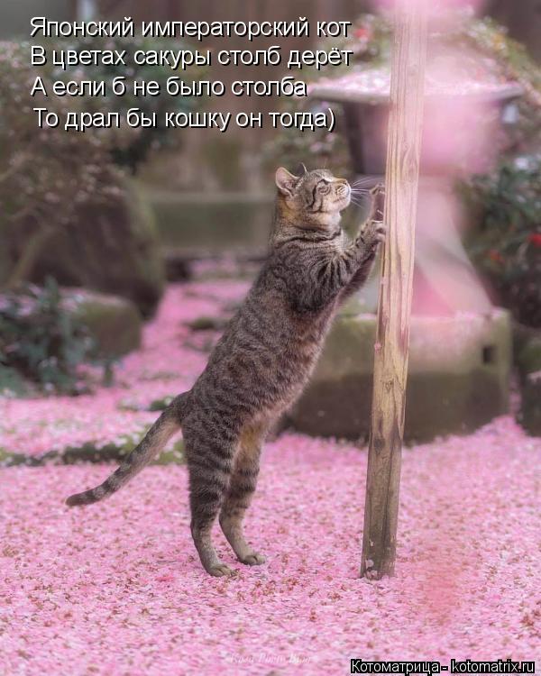 Котоматрица: Японский императорский кот  В цветах сакуры столб дерёт А если б не было столба То драл бы кошку он тогда)