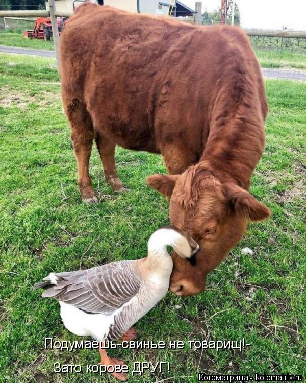 Котоматрица: Подумаешь-свинье не товарищ!- Зато корове ДРУГ!