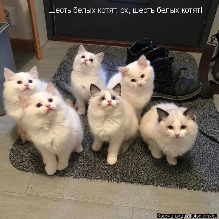 Котоматрица: Шесть белых котят, ох, шесть белых котят!