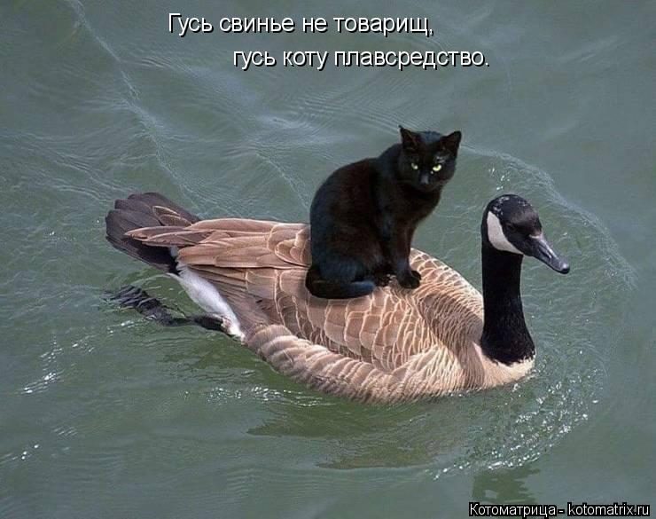 Котоматрица: Гусь свинье не товарищ, гусь коту плавсредство.
