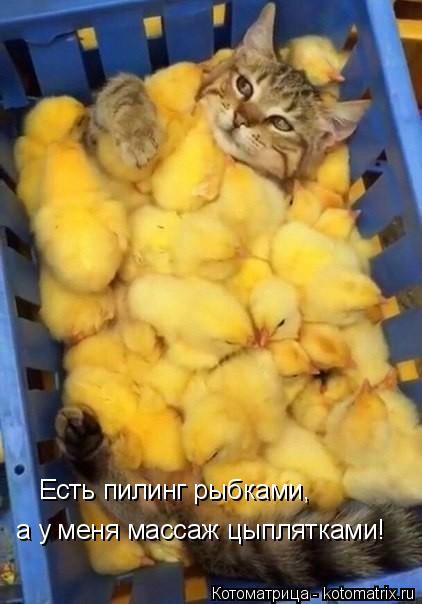 Котоматрица: Есть пилинг рыбками, а у меня массаж цыплятками!