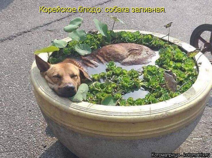 Котоматрица: Корейское блюдо: собака заливная.