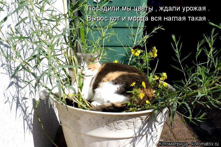 Котоматрица: Посадили мы цветы , ждали урожая .   Вырос кот и морда вся наглая такая .