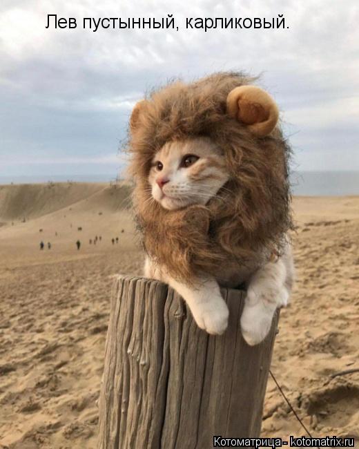 Котоматрица: Лев пустынный, карликовый.