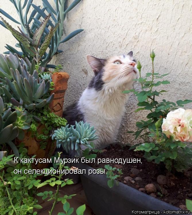 Котоматрица: К кактусам Мурзик был равнодушен, он селекционировал розы.