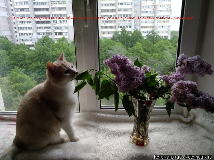 Котоматрица: На фото кот с чудным именем Айкод, Во двор гулять уж и не пускают, Но сирень понюхать разрешают.