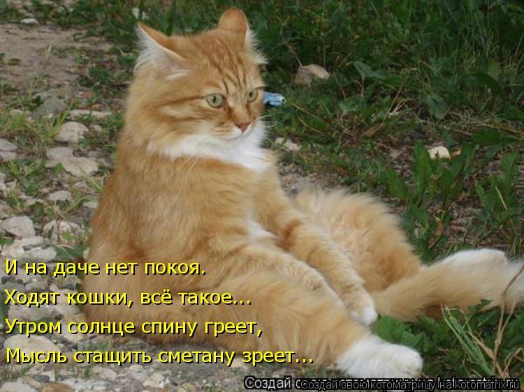 Котоматрица: Мысль стащить сметану зреет... Утром солнце спину греет, Ходят кошки, всё такое... И на даче нет покоя.