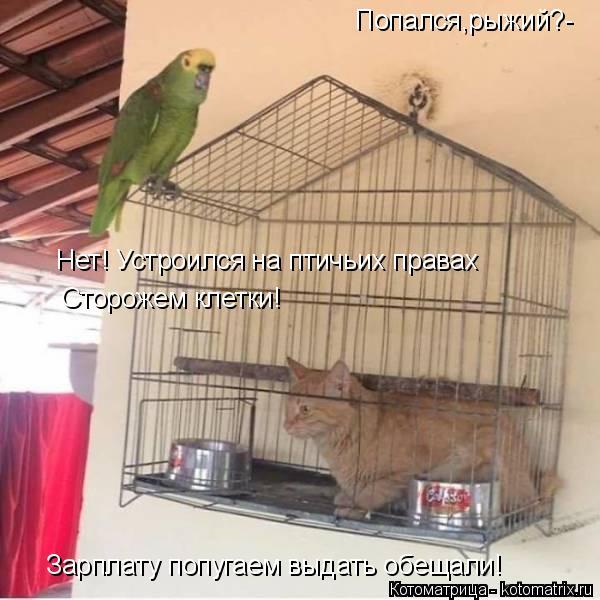 Котоматрица: Попался,рыжий?- Нет! Устроился на птичьих правах Сторожем клетки! Зарплату попугаем выдать обещали!
