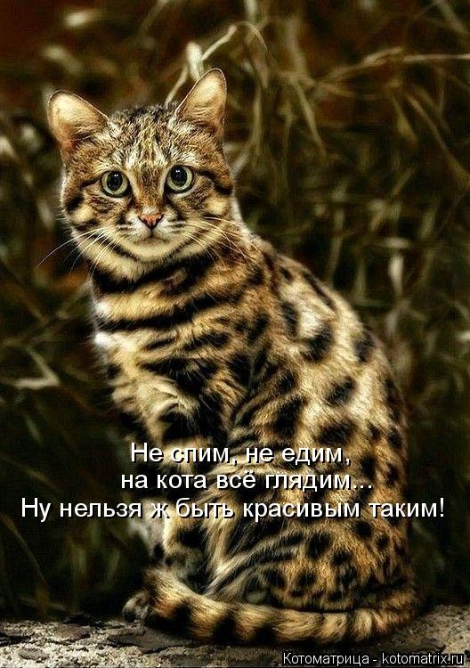 Котоматрица: Не спим, не едим,  на кота всё глядим... Ну нельзя ж быть красивым таким!