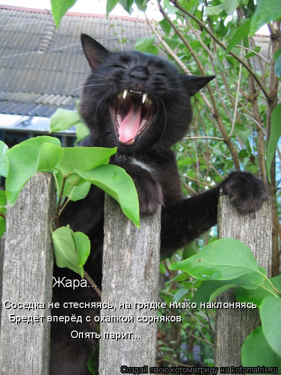 Котоматрица: Жара...  Соседка не стесняясь, на грядке низко наклоняясь  Бредёт вперёд с охапкой сорняков Опять парит...
