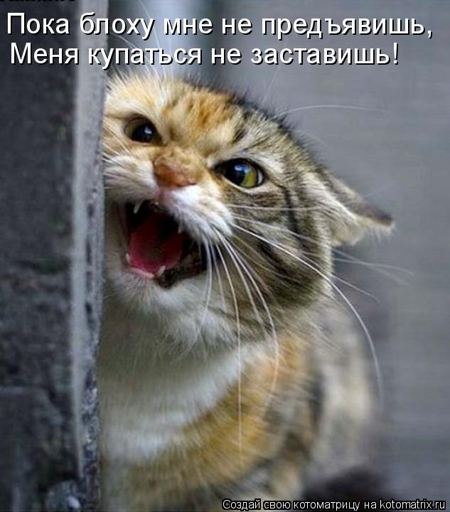 Котоматрица: Пока блоху мне не предъявишь, Меня купаться не заставишь!