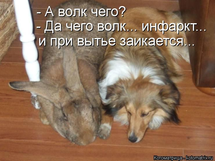 Котоматрица: - А волк чего? - Да чего волк... инфаркт... и при вытье заикается...