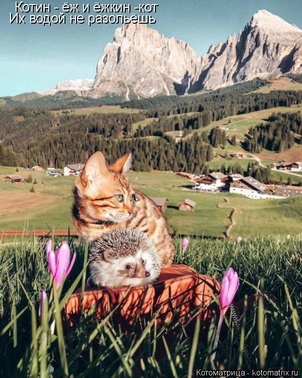 Котоматрица: Котин - ёж и ёжкин -кот Их водой не разольёшь