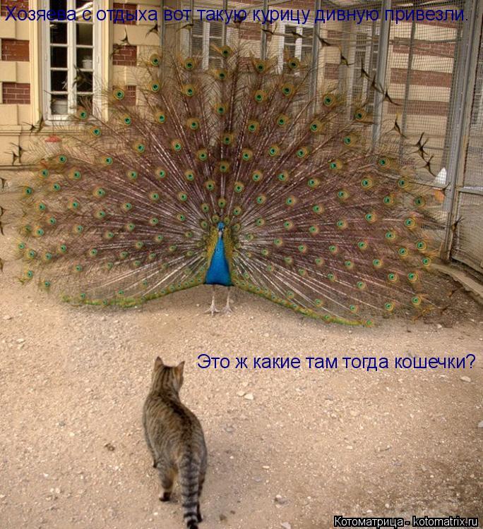 Котоматрица: Хозяева с отдыха вот такую курицу дивную привезли. Это ж какие там тогда кошечки?