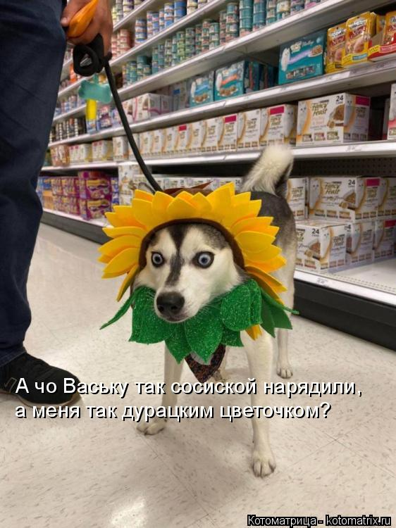 Котоматрица: А чо Ваську так сосиской нарядили,  а меня так дурацким цветочком?