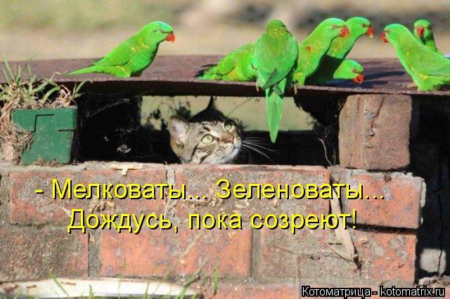 Котоматрица: - Мелковаты... Зеленоваты... Дождусь, пока созреют!