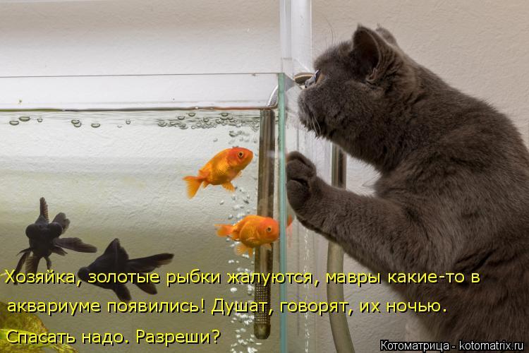 Котоматрица: Спасать надо. Разреши? Хозяйка, золотые рыбки жалуются, мавры какие-то в  аквариуме появились! Душат, говорят, их ночью.