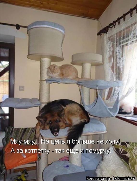 Котоматрица: Мяу-мяу... На цепь я больше не хочу! А за котлетку - так еще и помурчу!