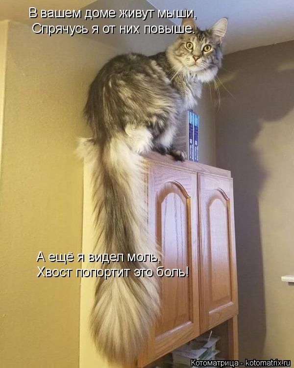Котоматрица: В вашем доме живут мыши, В ваш Спрячусь я от них повыше. А ещё я видел моль, Хвост попортит это боль!