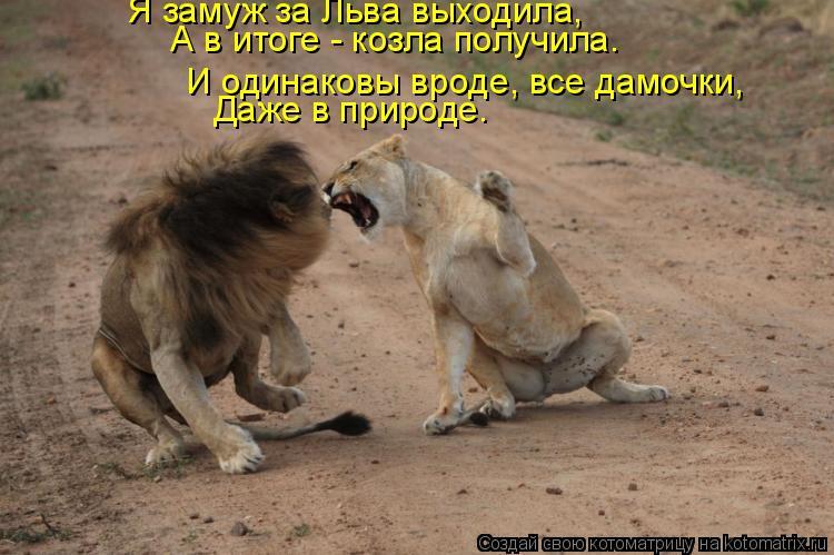Котоматрица: Я замуж за Льва выходила, А в итоге - козла получила. Даже в природе. И одинаковы вроде, все дамочки,