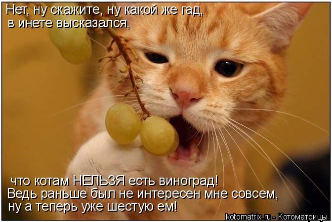 Котоматрица: Нет, ну скажите, ну какой же гад, в инете высказался,  что котам НЕЛЬЗЯ есть виноград! Ведь раньше был не интересен мне совсем, ну а теперь уже