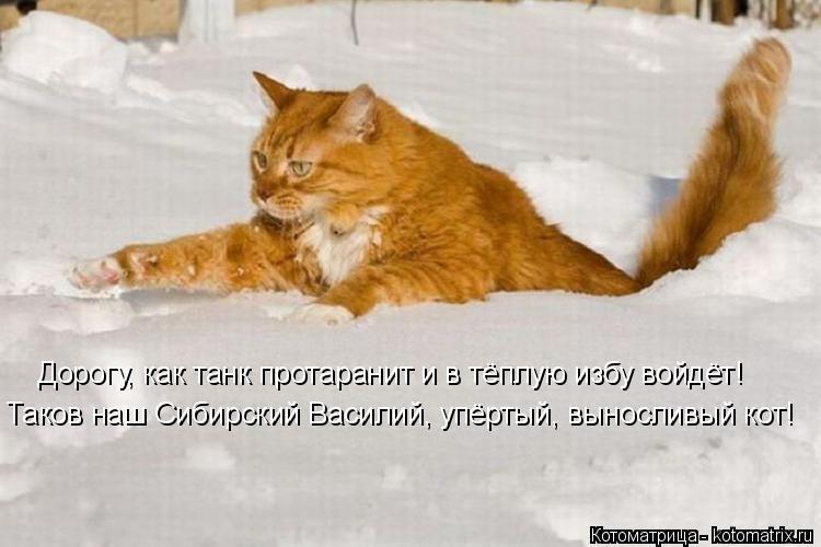Котоматрица: Дорогу, как танк протаранит и в тёплую избу войдёт! Таков наш Сибирский Василий, упёртый, выносливый кот!