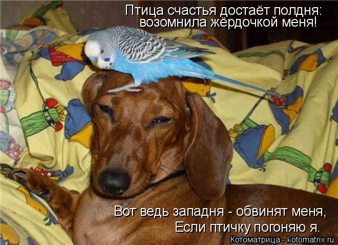 Котоматрица: Птица счастья достаёт полдня: возомнила жёрдочкой меня! Вот ведь западня - обвинят меня, Если птичку погоняю я.