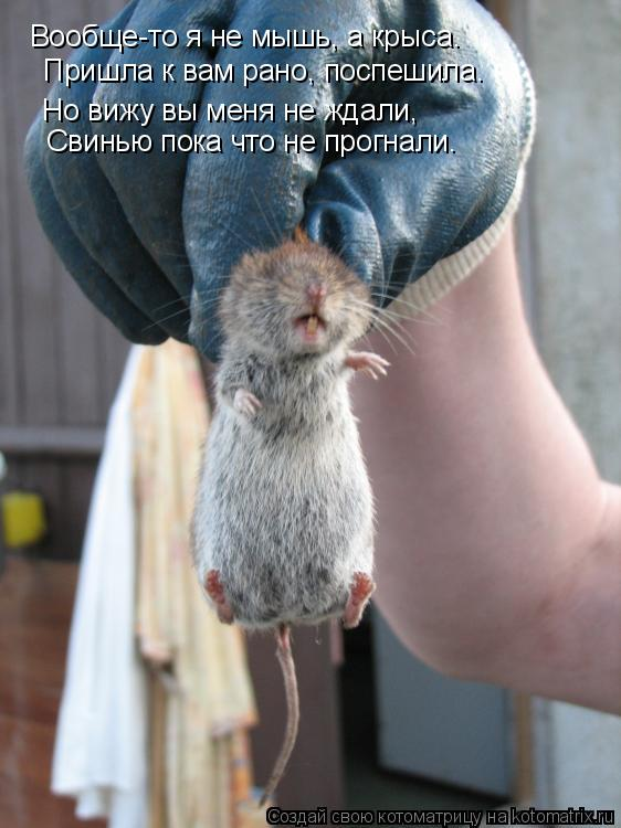 Котоматрица: Вообще-то я не мышь, а крыса. Пришла к вам рано, поспешила. Но вижу вы меня не ждали, Свинью пока что не прогнали.