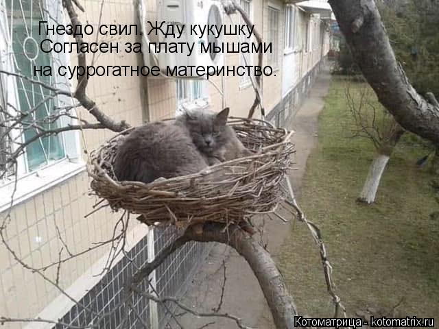 Котоматрица: Гнездо свил. Жду кукушку. Согласен за плату мышами  на суррогатное материнство.