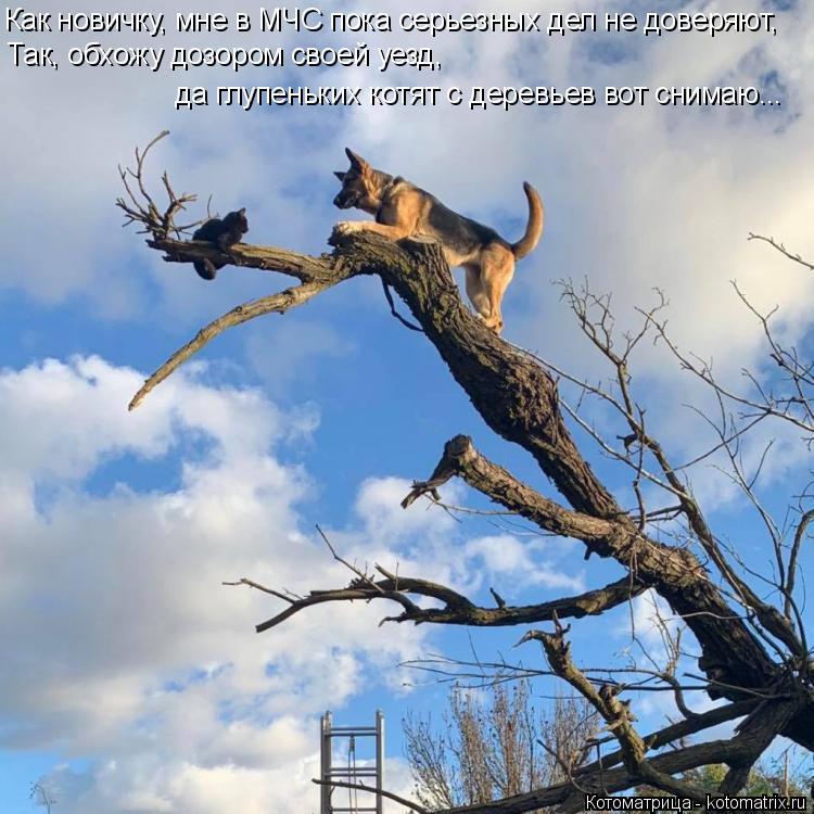 Котоматрица: Как новичку, мне в МЧС пока серьезных дел не доверяют,  Так, обхожу дозором своей уезд, да глупеньких котят с деревьев вот снимаю...