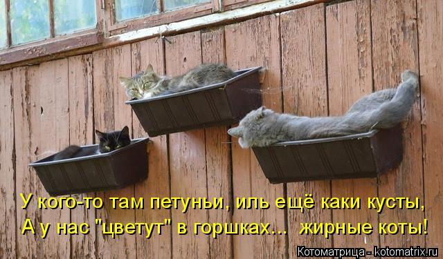 """Котоматрица: У кого-то там петуньи, иль ещё каки кусты, А у нас """"цветут"""" в горшках...  жирные коты!"""
