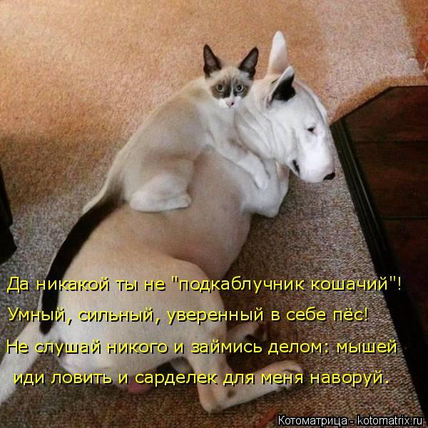 """Котоматрица: Да никакой ты не """"подкаблучник кошачий""""! Умный, сильный, уверенный в себе пёс!  Не слушай никого и займись делом: мышей  иди ловить и сарделек ?"""