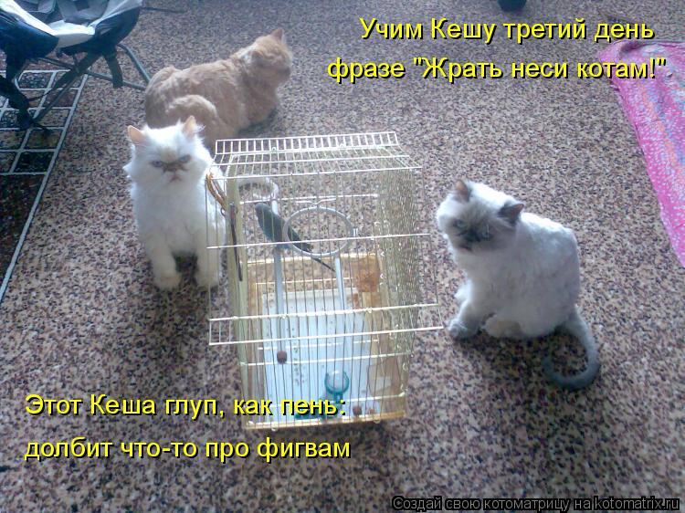 """Котоматрица: Учим Кешу третий день  фразе """"Жрать неси котам!"""" Этот Кеша глуп, как пень:  долбит что-то про фигвам"""